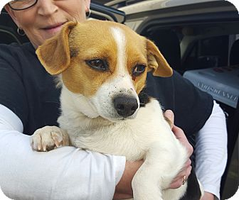 Beagle Mix Dog for adoption in Trenton, New Jersey - Gracie May