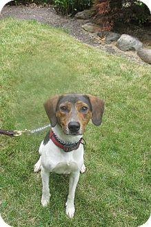 Beagle/Fox Terrier (Smooth) Mix Dog for adoption in Elyria, Ohio - Bentley