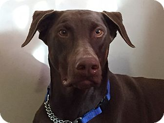 Doberman Pinscher Dog for adoption in Arlington, Virginia - Papi