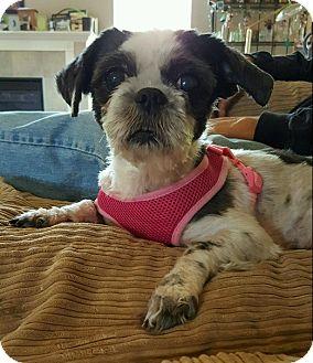 Shih Tzu/Terrier (Unknown Type, Small) Mix Dog for adoption in Avon, Ohio - Latte