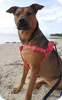 Border Terrier/Labrador Retriever Mix Dog for adoption in Lake Pansoffkee, Florida - Sophie