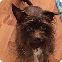 Adopt A Pet :: Yoda - Fairview Heights, IL