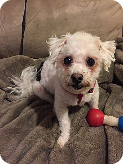 Bichon Frise Mix Dog for adoption in Glastonbury, Connecticut - Freddie