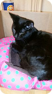 Domestic Mediumhair Cat for adoption in Rockford, Illinois - KJ (king)
