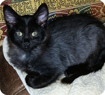 Domestic Mediumhair Cat for adoption in Buhl, Idaho - Cookie