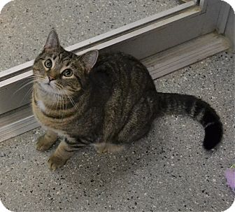 Domestic Shorthair Cat for adoption in Michigan City, Indiana - Smiles