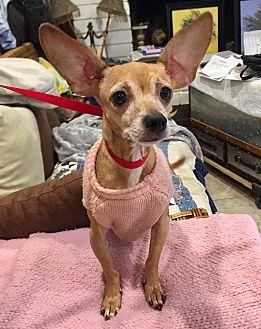 Rat Terrier/Feist Mix Dog for adoption in Santa Ana, California - Greta