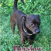 Adopt A Pet :: Hershey - Va Beach, VA