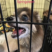 Adopt A Pet :: Springsteen - Willows, CA