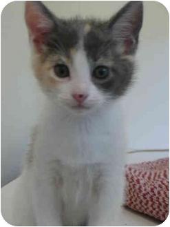 Domestic Shorthair Kitten for adoption in Davis, California - Violet