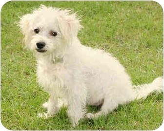 Maltese/Poodle (Miniature) Mix Dog for adoption in Marina del Rey, California - Timmy