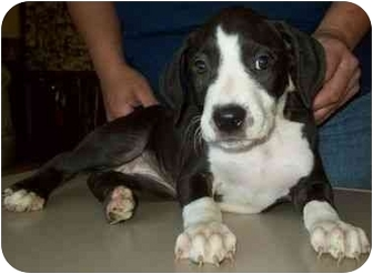 Boxer Mix Puppy for adoption in North Judson, Indiana - Peggy