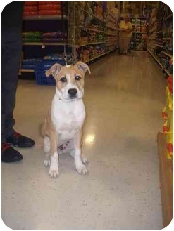 Shepherd (Unknown Type)/Boxer Mix Dog for adoption in Howell, Michigan - Bauer