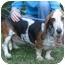 Photo 2 - Basset Hound Dog for adoption in Folsom, Louisiana - Bella