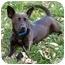 Photo 3 - Corgi/Jack Russell Terrier Mix Dog for adoption in Latrobe, Pennsylvania - Mercedes