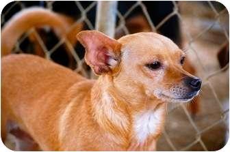 Chihuahua Mix Dog for adoption in Fairmount, Georgia - Penny