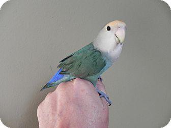 Lovebird for adoption in St. Louis, Missouri - Jasper