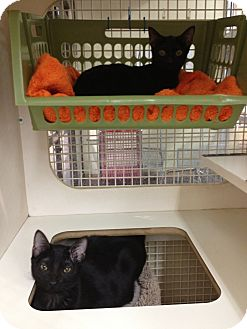 American Shorthair Cat for adoption in Weatherford, Texas - Boston & Midnight