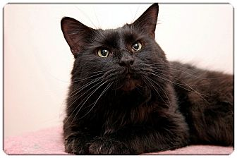Domestic Mediumhair Cat for adoption in Sterling Heights, Michigan - Merlin - ADOPTED!