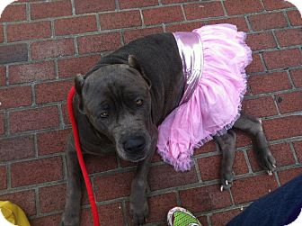 Neapolitan Mastiff Dog for adoption in Mechanicsburg, Pennsylvania - Blu