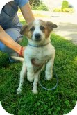 Corgi/Fox Terrier (Smooth) Mix Puppy for adoption in Portland, Maine - Clyde