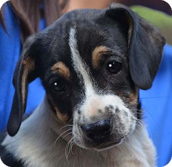 Beagle Mix Puppy for adoption in Allentown, Pennsylvania - Sammy