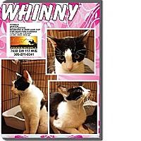 Domestic Shorthair Kitten for adoption in Miami, Florida - Whinny