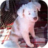 Adopt A Pet :: Oliver - Mesa, AZ