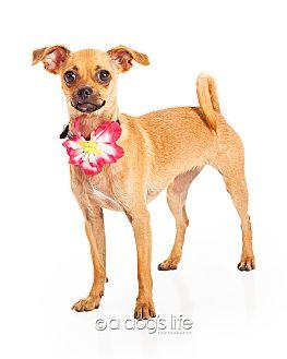 Chihuahua/Pug Mix Dog for adoption in Scottsdale, Arizona - Cindy