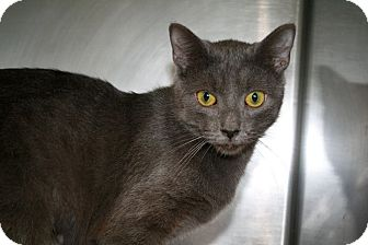 Domestic Shorthair Cat for adoption in Jackson, New Jersey - Fallon