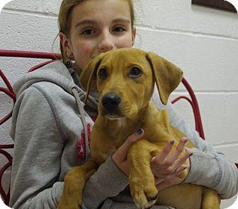 Australian Cattle Dog Mix Puppy for adoption in Elyria, Ohio - Mac