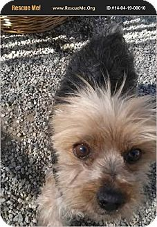 Yorkie, Yorkshire Terrier Dog for adoption in San Fernando Valley, California - April Girl