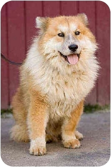 Chow Chow/Collie Mix Dog for adoption in Portland, Oregon - Nori