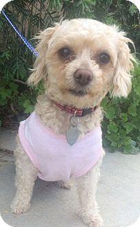 Poodle (Toy or Tea Cup) Mix Dog for adoption in Pasadena, California - NALA