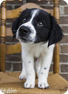 Border Collie Mix Puppy for adoption in Charlotte, North Carolina - Griffin