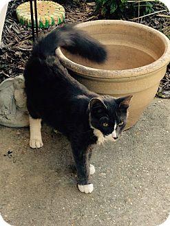 Domestic Mediumhair Cat for adoption in Navarre, Florida - Kitt