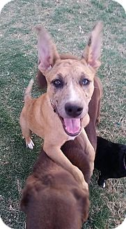 Belgian Malinois/Catahoula Leopard Dog Mix Puppy for adoption in Midland, Texas - Harleigh