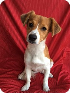 Collie/Terrier (Unknown Type, Small) Mix Puppy for adoption in Corona, California - CHARLIE