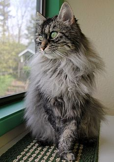 Domestic Mediumhair Cat for adoption in Portland, Oregon - Iris