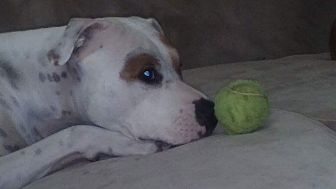 Pit Bull Terrier Mix Dog for adoption in Sioux Falls, South Dakota - Zoey