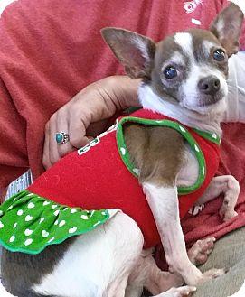 Chihuahua/Rat Terrier Mix Dog for adoption in Phoenix, Arizona - CeCe