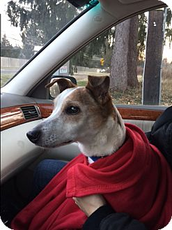 Jack Russell Terrier Mix Dog for adoption in Park Ridge, New Jersey - Arnold
