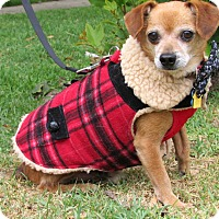 Dachshund/Chihuahua Mix Dog for adoption in Redondo Beach, California - Jack is a great dog!