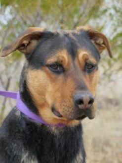 Rottweiler Mix Dog for adoption in Las Cruces, New Mexico - Kiya