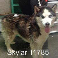 Adopt A Pet :: Skylar - Manassas, VA