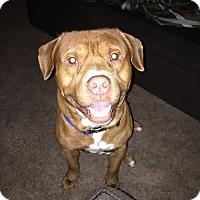 American Pit Bull Terrier/Shar Pei Mix Dog for adoption in Ocoee, Florida - Cujo
