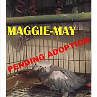 Adopt A Pet :: Maggie-May African Grey - Vancouver, WA