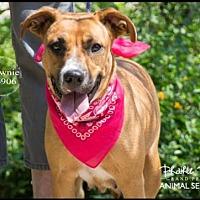 Adopt A Pet :: BROWNIE - Grand Prairie, TX