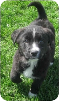 Labrador Retriever/Border Collie Mix Puppy for adoption in Fenton, Missouri - SUMMER