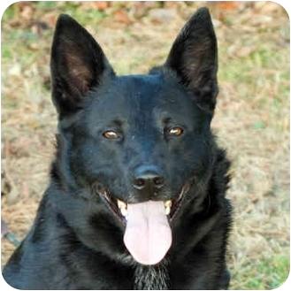 Australian Shepherd Mix Dog for adoption in Westfield, New York - Sasha